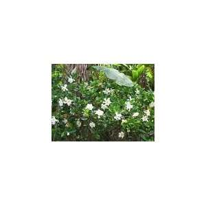 * DWARF JASMINE GARDENIA BUSH* 5 seeds*FRAGRANT!! #1152
