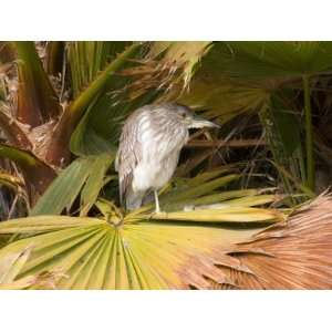 Juvenile Black Crowned Night Heron, Santee Lakes, San