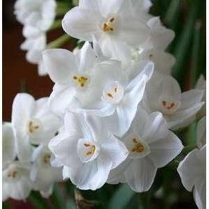 Narcissus Nir Paperwhites, 10 bulbs   17+cm: Patio, Lawn & Garden